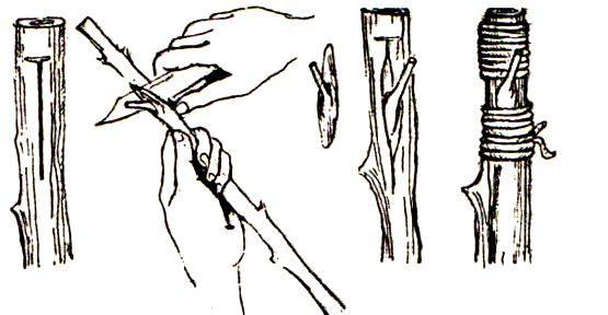 как привить розу на шиповн3