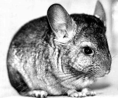 кролик шиншилла (2)