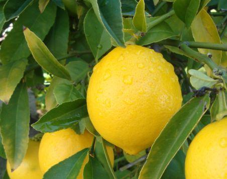 лимон из черенка пер