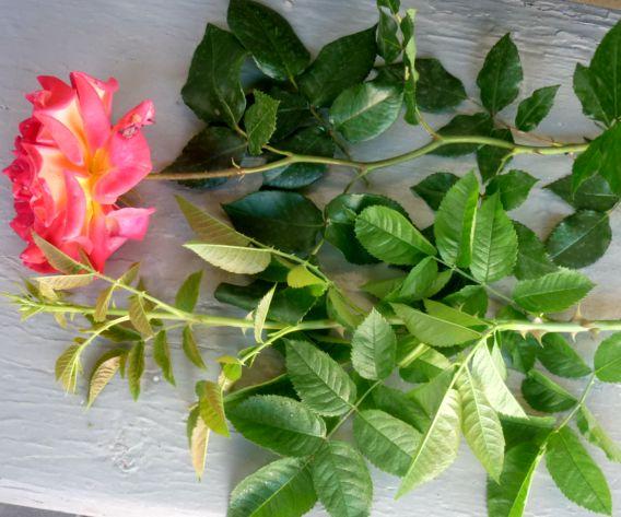 роза и шиповник (1)