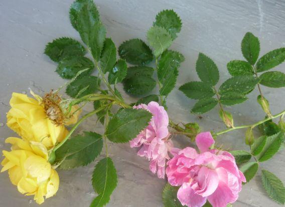 роза и шиповник (2)