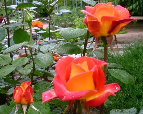 розы из черенка