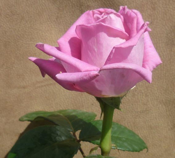 розы из черенка1