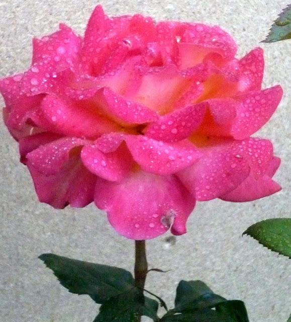 розы из черенка2