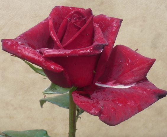 розы из черенка4