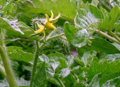 защита томатов от (1)