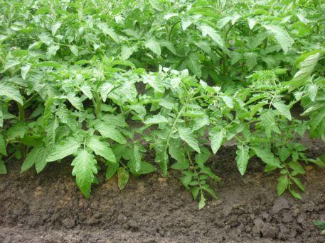 защита томатов от (2)