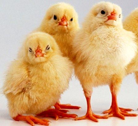 цыплят на ноги