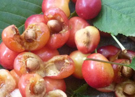 вредит череш ягод