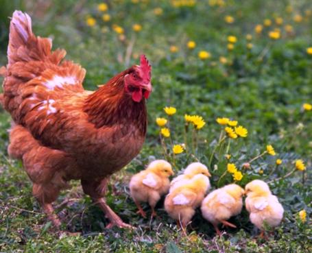 как вырастить цыпленка
