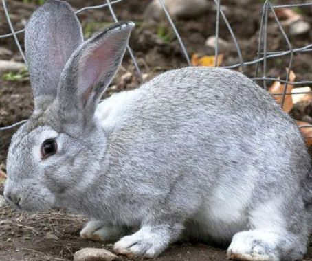 кролик понос