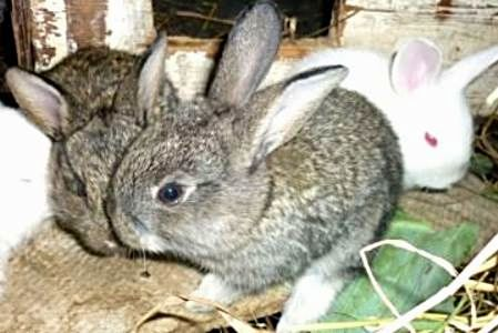 простуда кролика