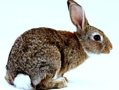 простуда кролик