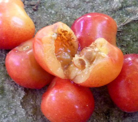 червивая черешня (2)