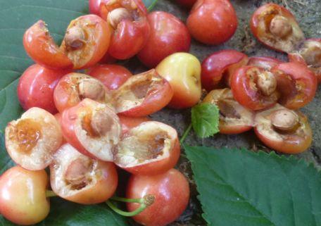 черешня червив ягод