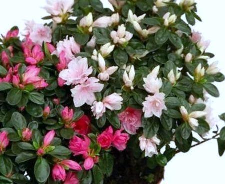вредные цветы азалия