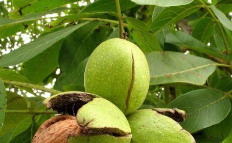 лечебные ореха (2)