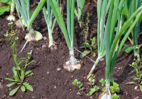 Close-up of the onion plantation in the vegetable garden