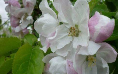 яблоня цвететт