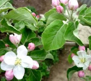 яблоня цветет бутон