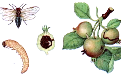 яблон пилил