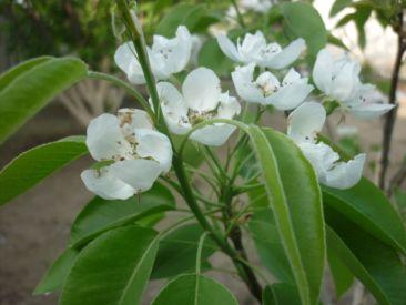 груша цветет (2)
