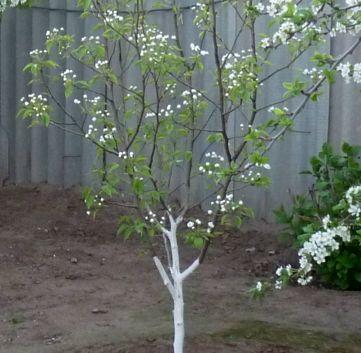 сад цветет весна 2018 (2)